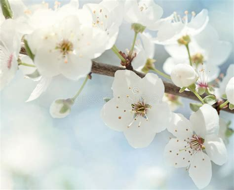 fiori di ciliegia fiori di ciliegia fotografia stock immagine 24040032