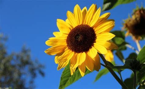 jenis jenis bunga matahari  melambangkan kesetiaan