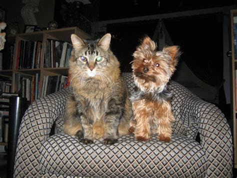 yorkie and cats miniature terrier yorkie and cats