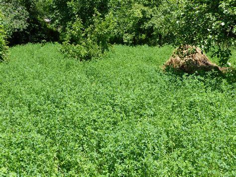 alfalfa images wiki alfalfa upcscavenger