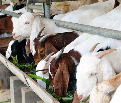 Bibit Kambing Boerka kambing gemuk pilih kambing boerka bebeja