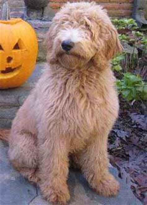 double doodle dog breed information pictures