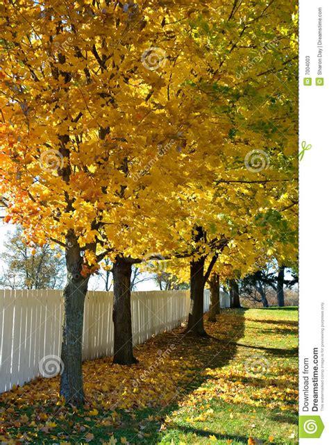 missouri maple trees missouri maples stock photos image 7004003