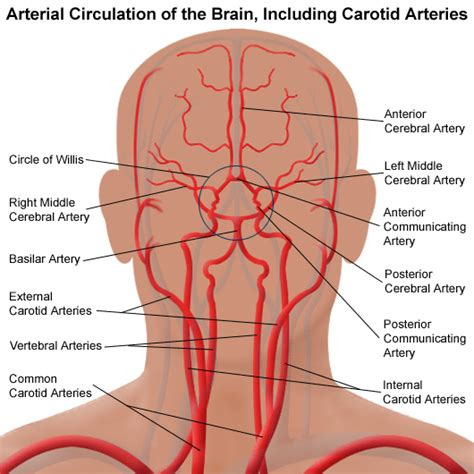 brain blood supply diagram stroke patient care services vascular and