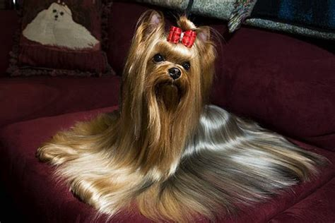 show me a yorkie westminster show westminster and yorkie on