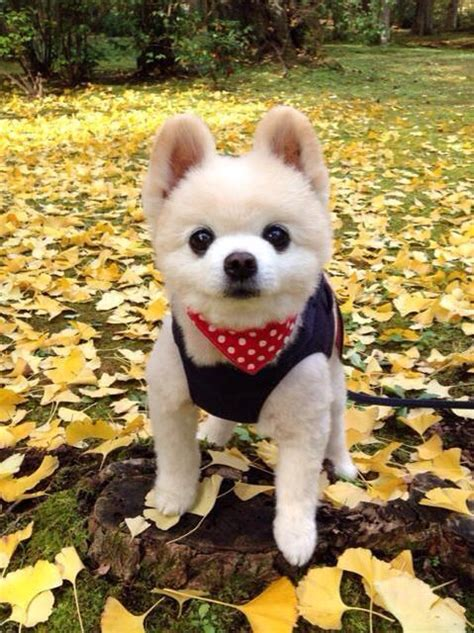 shunsuke pomeranian this busy pomeranian is almost fluffy to be real