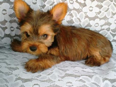golden yorkie terriers page 4 for sale ads free classifieds