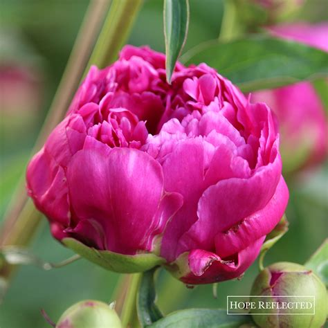 peony the best varieties for your garden books ideas inspiration reflected inspiration