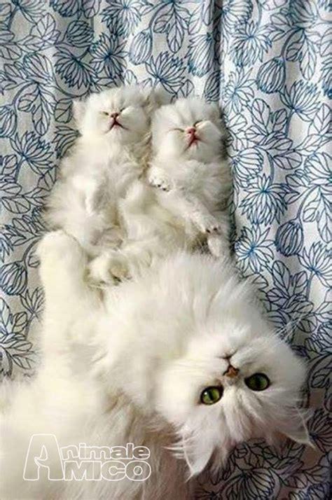 gatti persiani chinchilla in vendita vendita cucciolo persiano da privato a firenze gatti