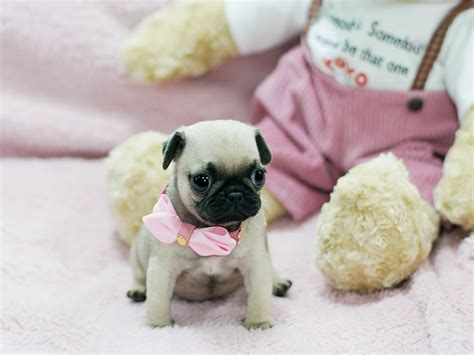 tea cup pug teacup pug information breeds picture