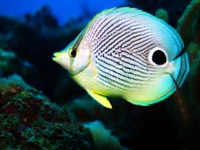 colorful saltwater fish butterfly fish facts and new photos the wildlife