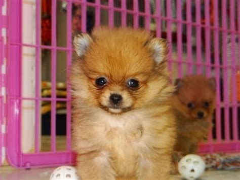 craigslist teacup puppies gorgeous teacup pomeranian puppies for sale riverside ca