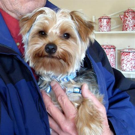 yorkie rescue lancaster pa buckey quot buckeye quot the pride of ohio s web page