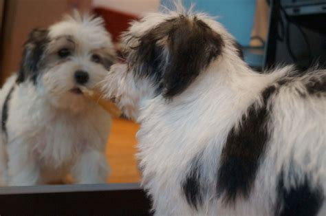problems with havanese puppy havanese breeds picture
