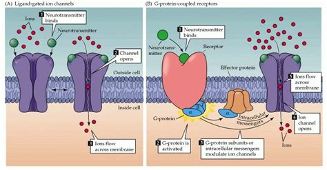 Receptor Function: The Concept of Cell Signalling at ... G Protein Coupled Receptors Diagram