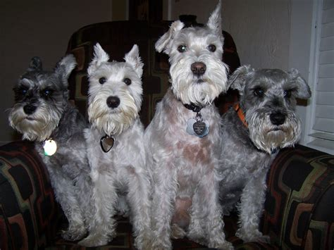 schnauzer haircut and styles best 25 miniature schnauzer miniature schnauzer cut 114 best for the love of