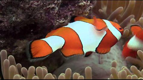 la chachipedia el pez payaso apexwallpaperscom el pez payaso y su aliada la an 233 mona youtube