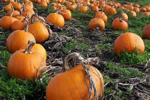 Pumpkin Patch Pumpkin Patch In Yakima Where Are They For