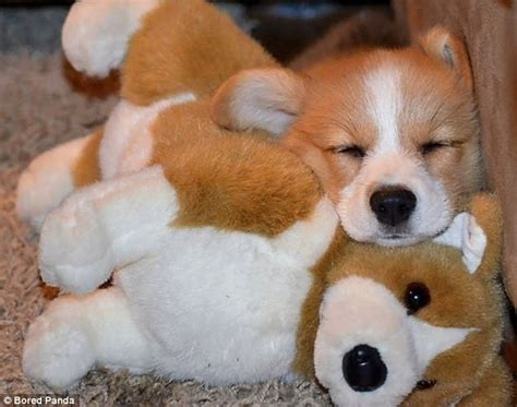cuddle puppy adorable animals pictured cuddling up with soft toys daily mail