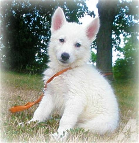 all white german shepherd puppies all white ddkc german shepherd siberian husky shepsky puppies for sale in romney west