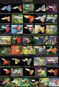 Aquascape Nano Types Of Guppies Jpg 508 215 748 Aǫᴜᴀʀɪsᴛ Pinterest