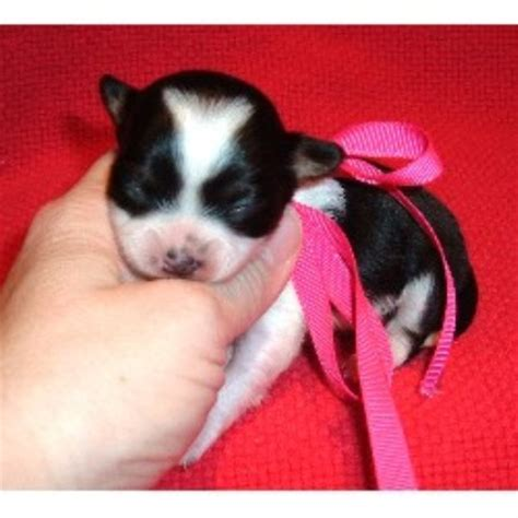 chihuahua puppies for sale in ga chihuahua breeders in freedoglistings