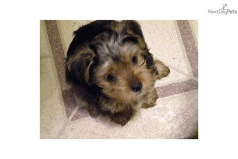 yorkie poo puppies nc yorkiepoo yorkie poo for sale for 500 near winston salem carolina c7df8bd6