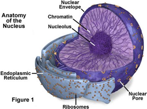 diagram of a nucleus picture