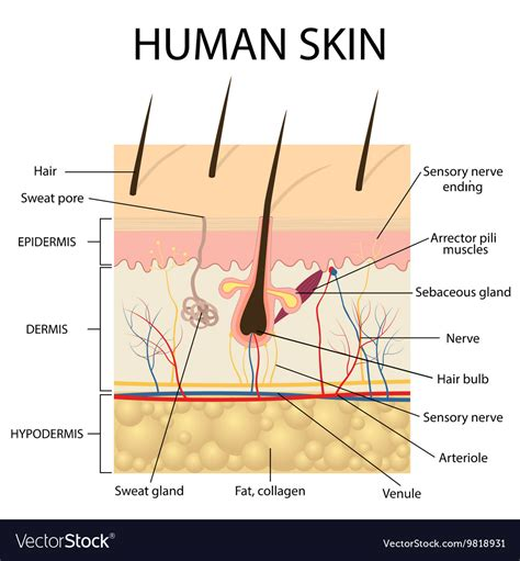 human skin structure royalty free vector image human nerve cell vector by blueringmedia image 1854504 vectorstock