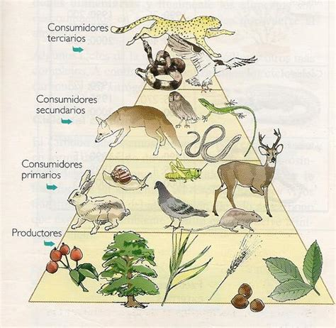 cadenas y redes y piramides alimenticias redes cadenas y piramides alimenticias un gran viaje