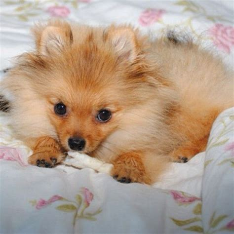 baby pomeranian for free 1000 images about pomeranian babies on grown pomsky snowball and