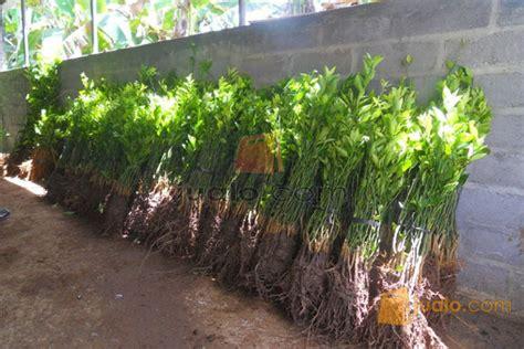 Bibit Jeruk Santang Madu Di Bogor tanaman buah jeruk santang daftar harga terlengkap indonesia
