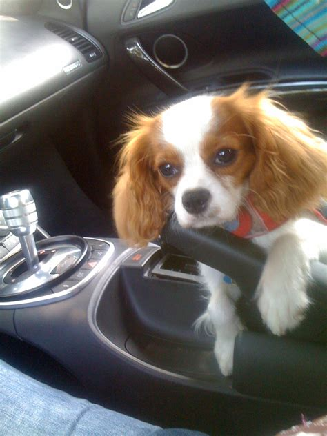 cavalier king charles spaniel puppies adoption cavalier king charles spaniel rescue spoiled cavaliers