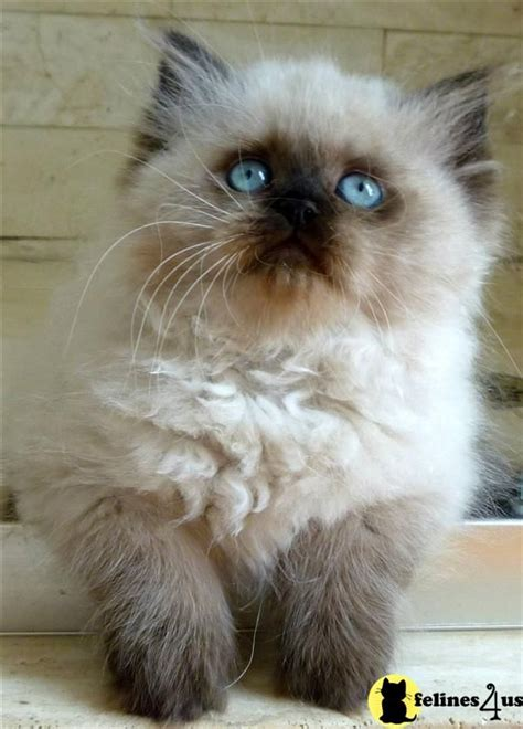 my ragdoll 3d 25 best ideas about himalayan cat on pretty