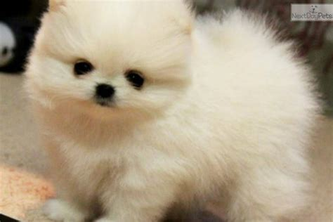 different kinds of pomeranians 3 types of pomeranian faces pomeranian types breeds picture 3 types of