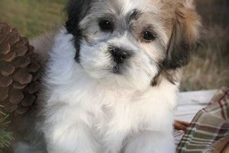 teddy puppies for sale in nj teddy puppies 8 shichon puppies for sale in nj biological science