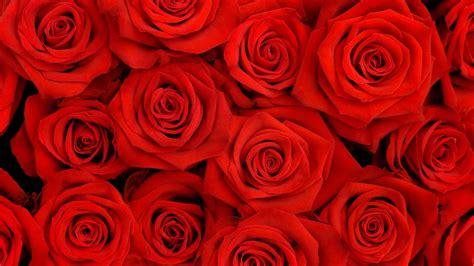 wallpaper for laptop roses rose petals hd wallpapers