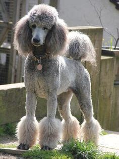 poodle cuts exles definition of a miami clip poodle trim google search