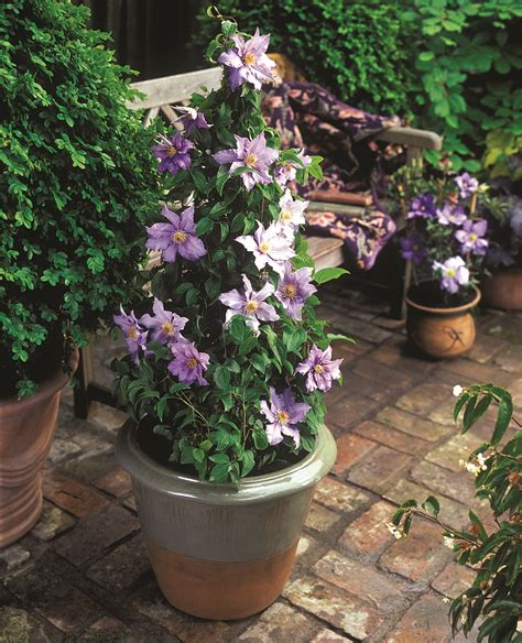 Patio Clematis by Outdoor Living Driving Gardening Trends For 2006