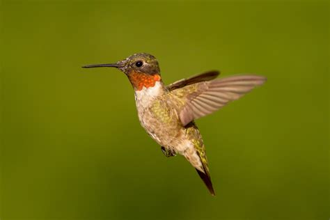 tiny hummingbirds are marvels of endurancetrue viral news