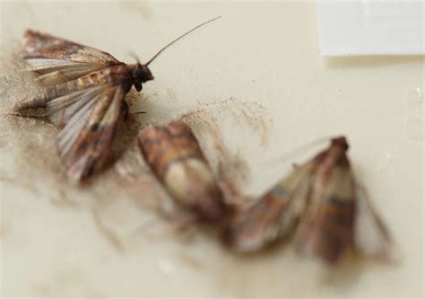 Pantry Insects by Pantry Moths Pantrymoth Pantrymoths