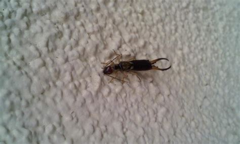 earwigs in house pincher bugs in house pictures to pin on pinterest pinsdaddy