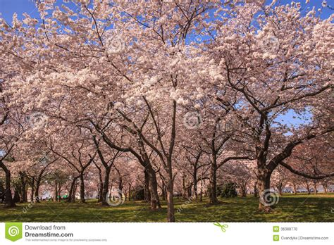 5 cherry tree grove grove of cherry trees in washington dc stock photo image 36388770