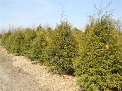 where to buy trees buy canadian hemlock trees shade tolerant evergreens