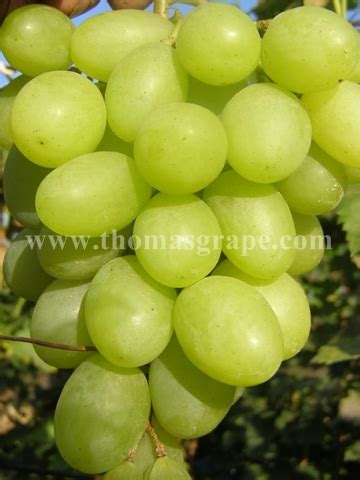 Crispy Anggur blagovest cuttings thomasgrape professional table