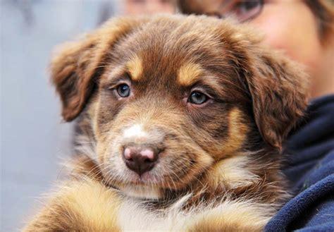australian shepherd puppies for sale indiana australian shepherd puppies for sale akc puppyfinder
