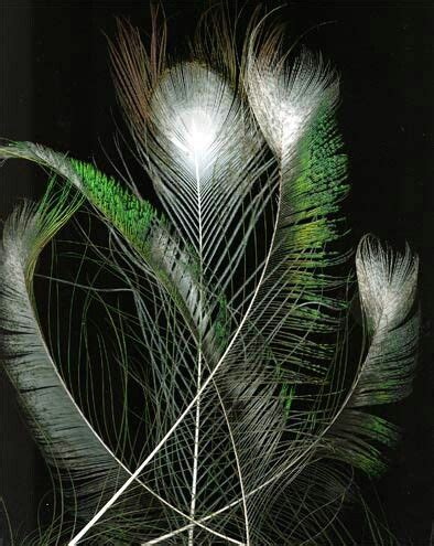 1000 images about peacocks on pinterest feathers
