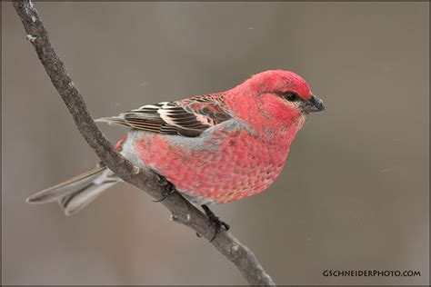 histories of american cardinals grosbeaks buntings towhees finches sparrows and allies order passeriformes family fringillidae literature cited and index classic reprint books photo pine grosbeak