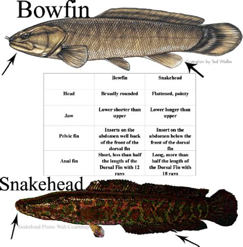 vs non fish bluegill s the difference between a bowfin and a