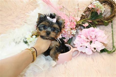 teacup yorkie florida 17 best images about t cup yorkies for sale in florida on home tea cups